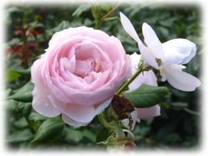 110912 garden flowers (14b)